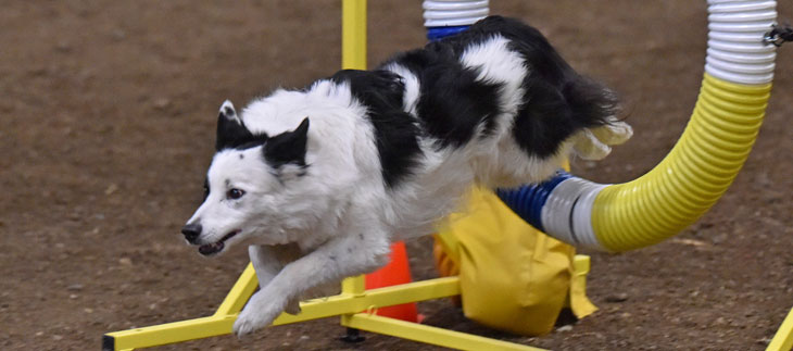 Cranial Cruciate Ligament (knee) Injuries in Agility Dogs